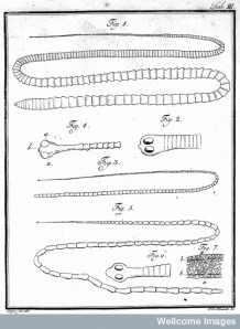 From the treatise on tapeworms by Marcus Bloch, 1782 (Courtesy Wellcome Library)