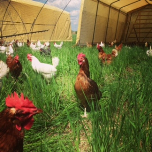 Serben Free Range Poultry, from http://www.serbenfreerange.com.