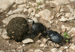 Sometimes a dung beetle is just a dung beetle. Forever.